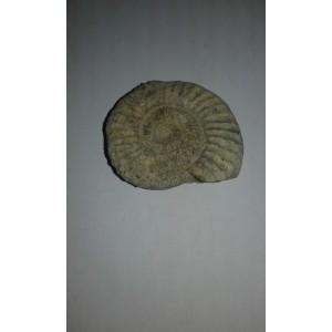 Fósil parapallasiceras